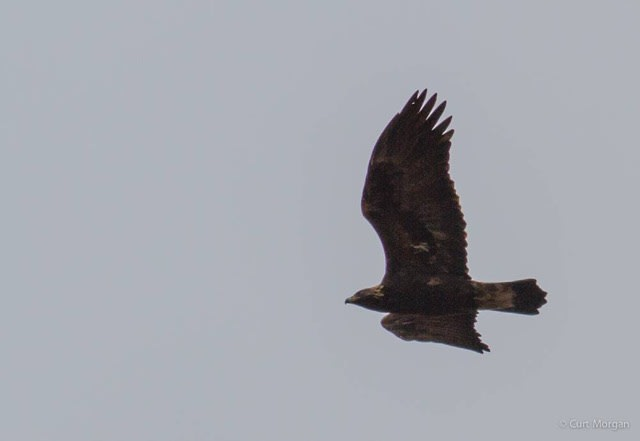 Golden Eagle at Franklin Mt.  photo by Curt Morgan