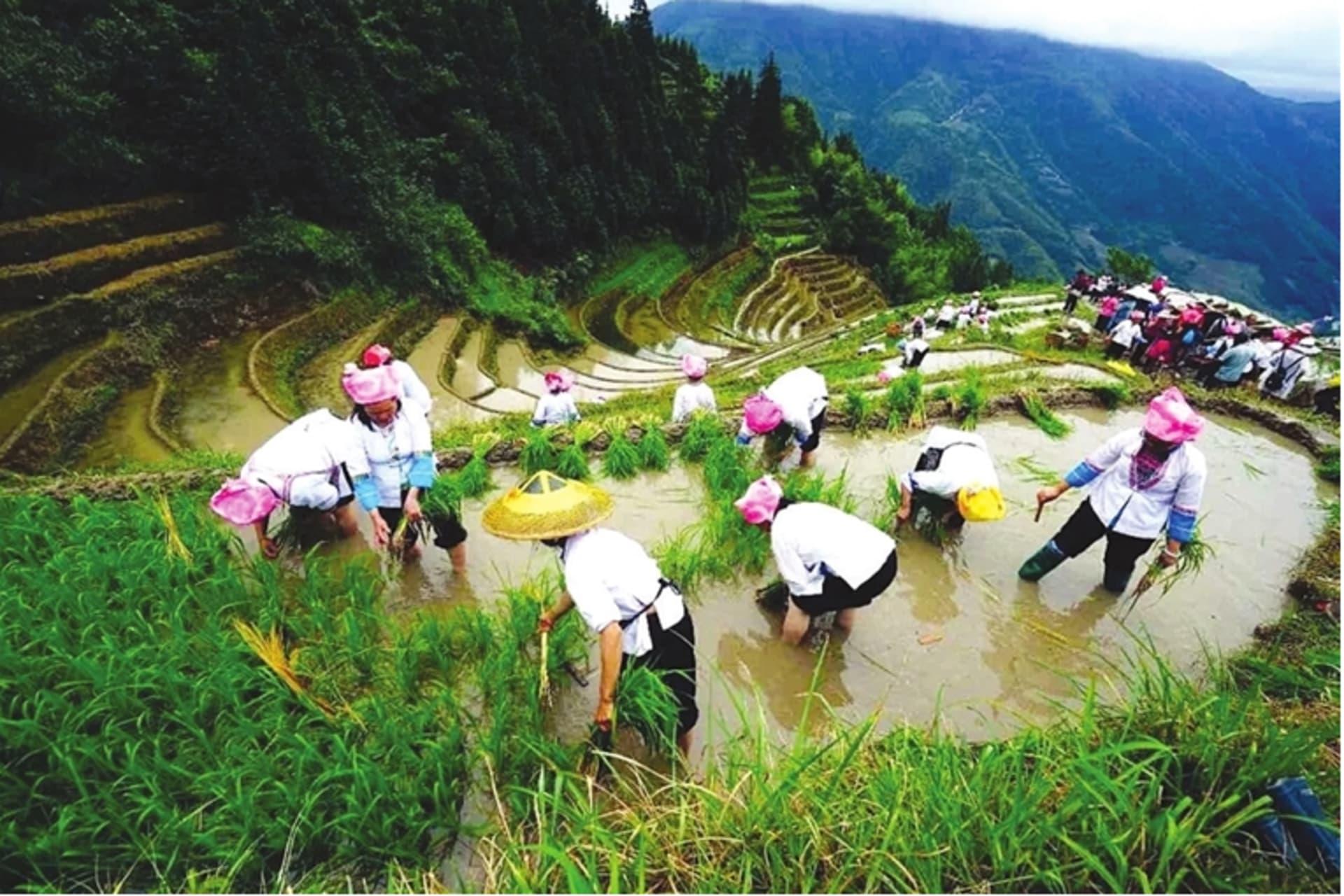 Guilin - Dragon Boat Festival 2021: Rice Seedlings Planting