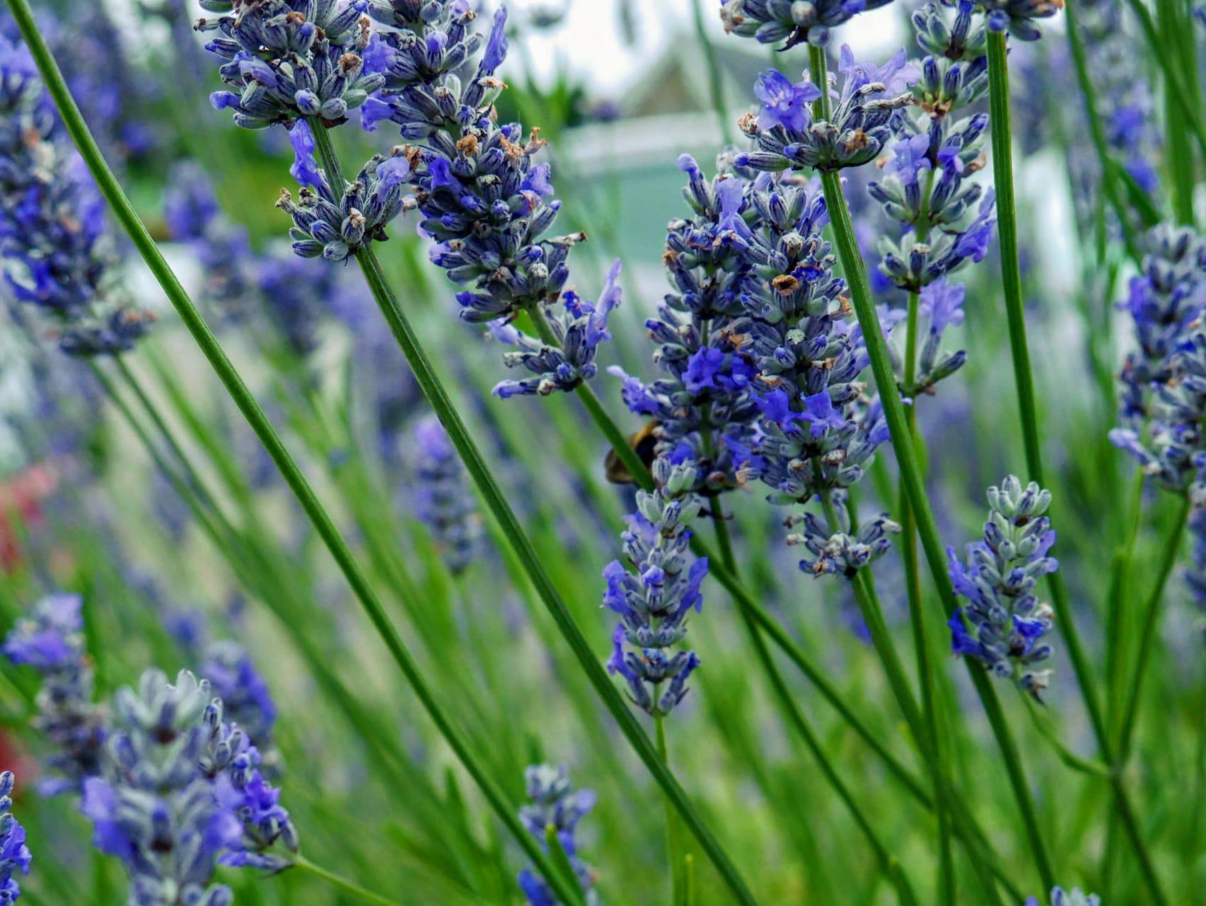 Wexford - Wexford Lavender Farm: Irelands only commercial Lavender Farm
