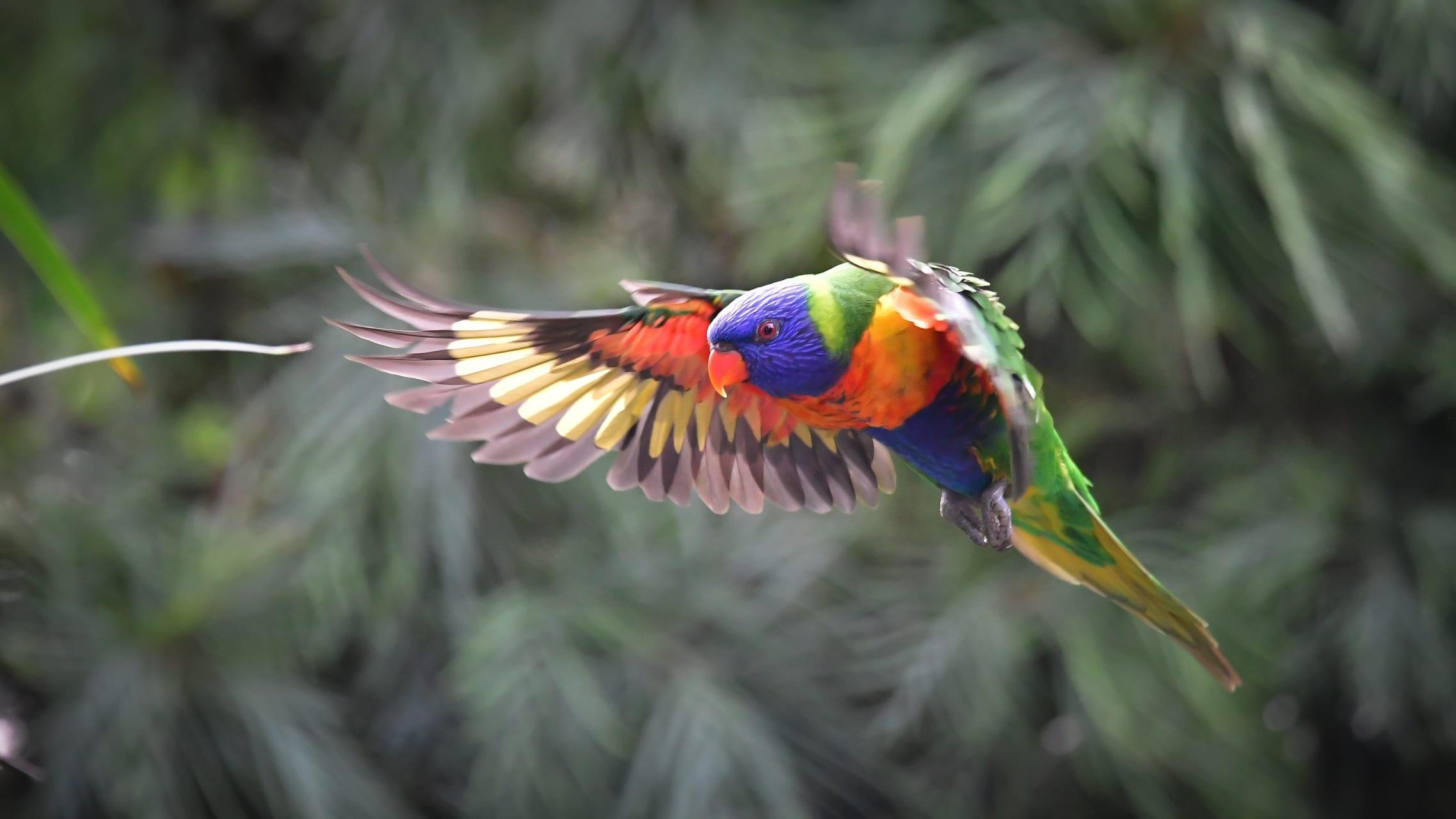 Sydney - Australian Bird Song at Dawn