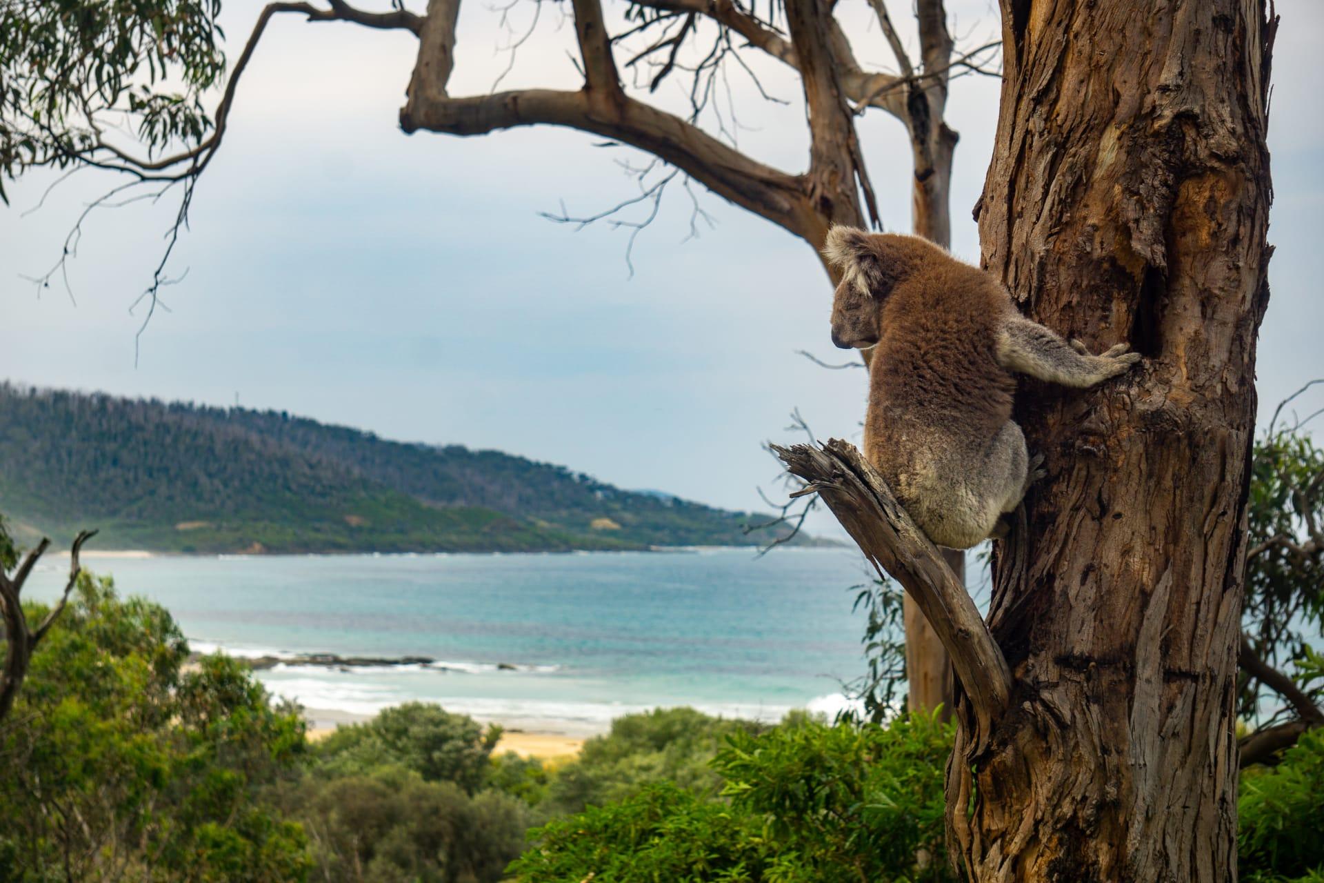 Victoria - The Kennett River Koala Walk