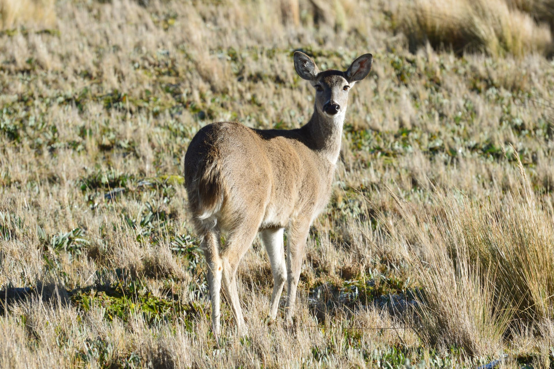 Otavalo - Let's Feed and Look at the White-tailed Deer
