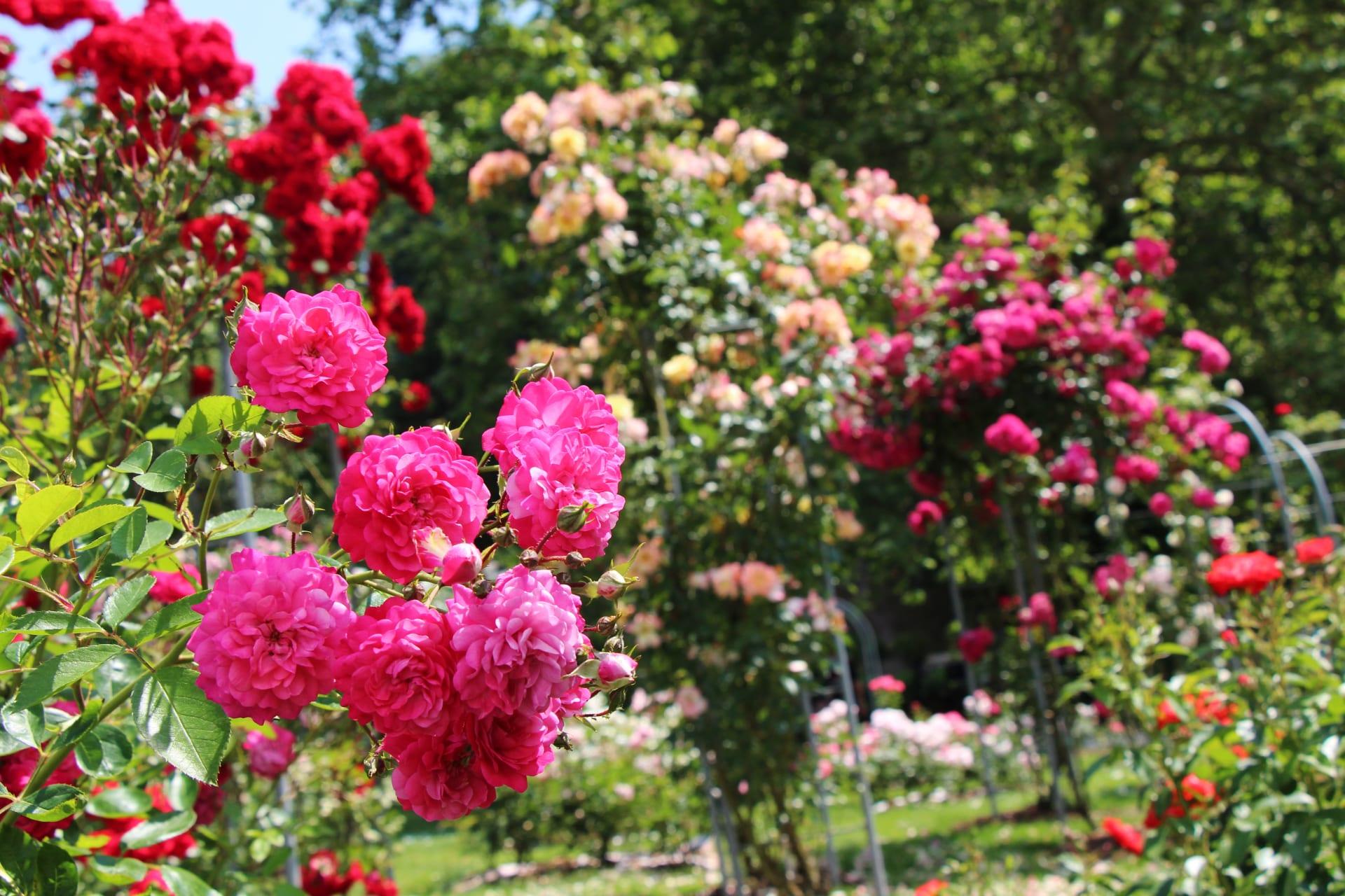 Ljubljana - Arboretum Volčji Potok - Rose gardens with 1000 rose varieties