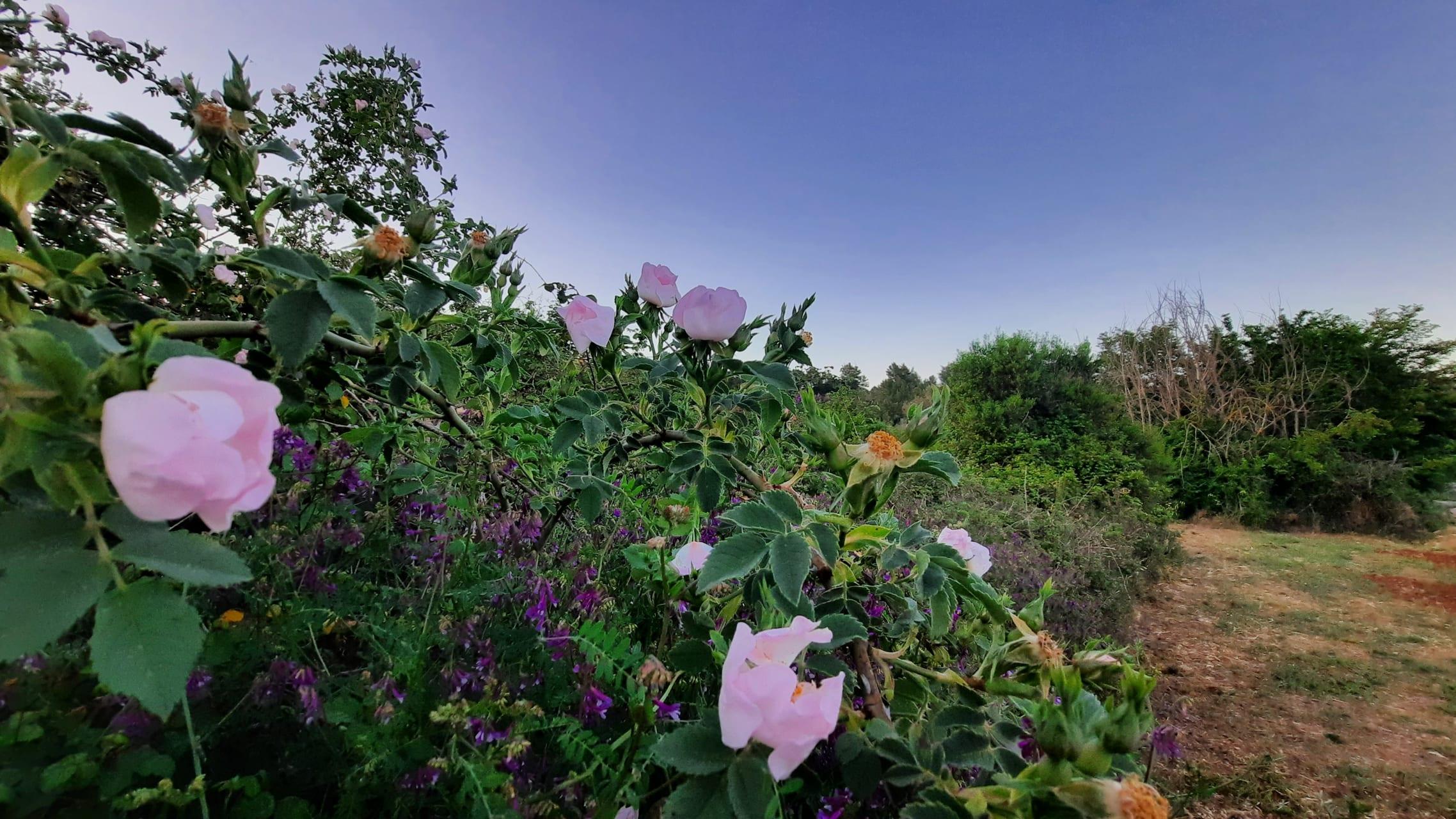 Korcula - Karst Field Wild Rose Bush & Healing Plants