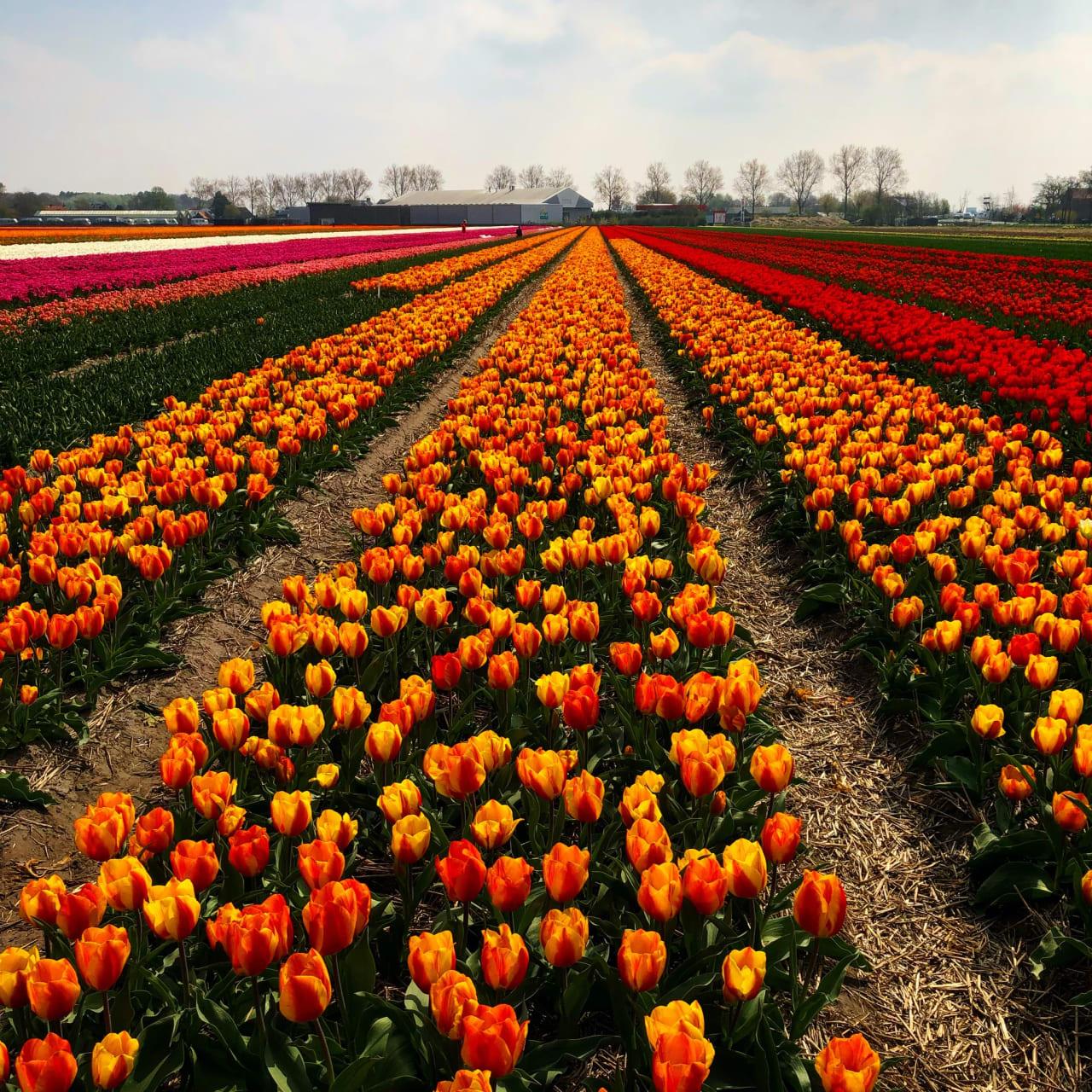 Amsterdam - Cycle Through the Tulip Fields Near Keukenhof Gardens