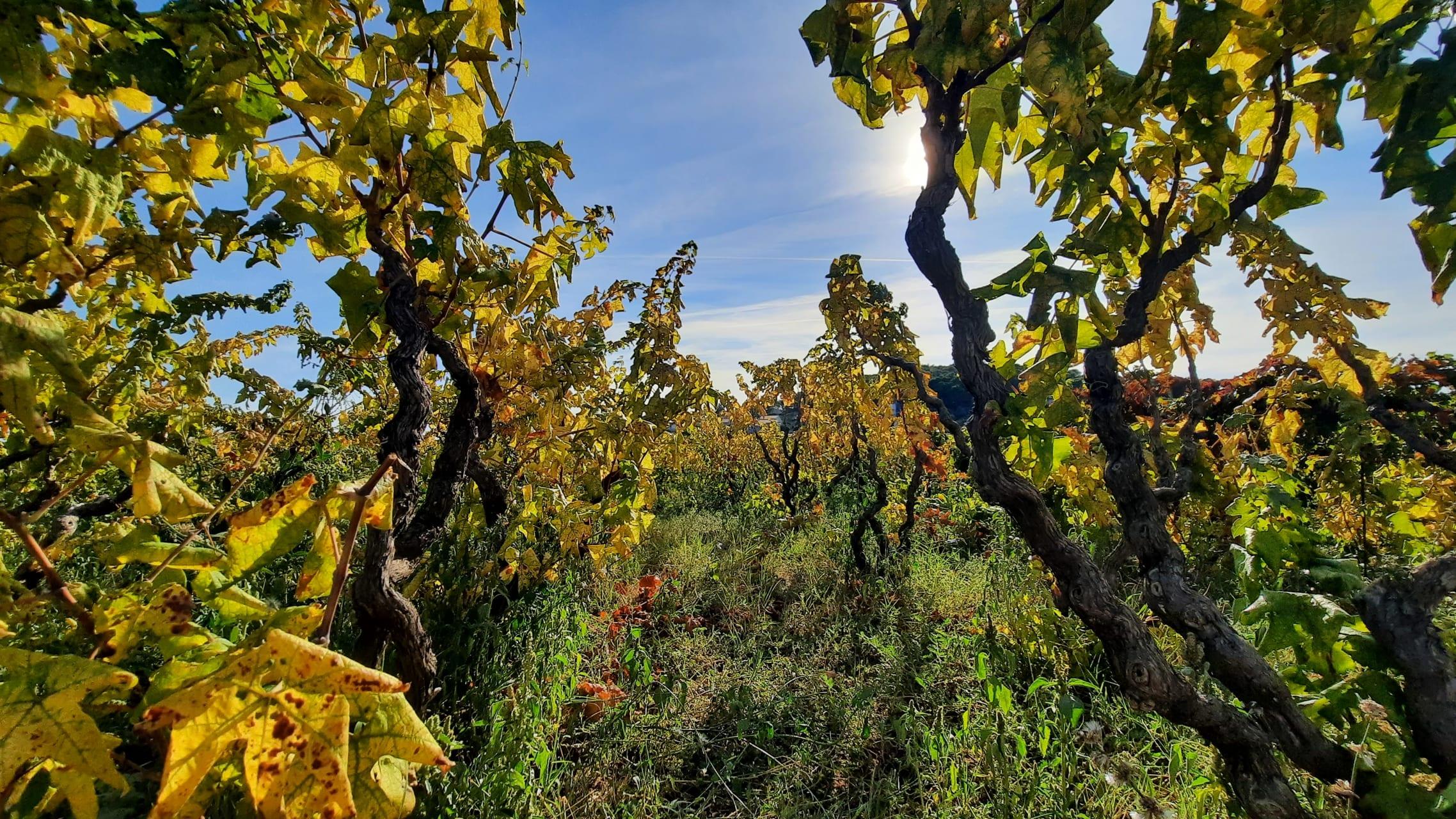 Korcula -  Relaxing Walk in the Autumn Vineyards of Lumbarda