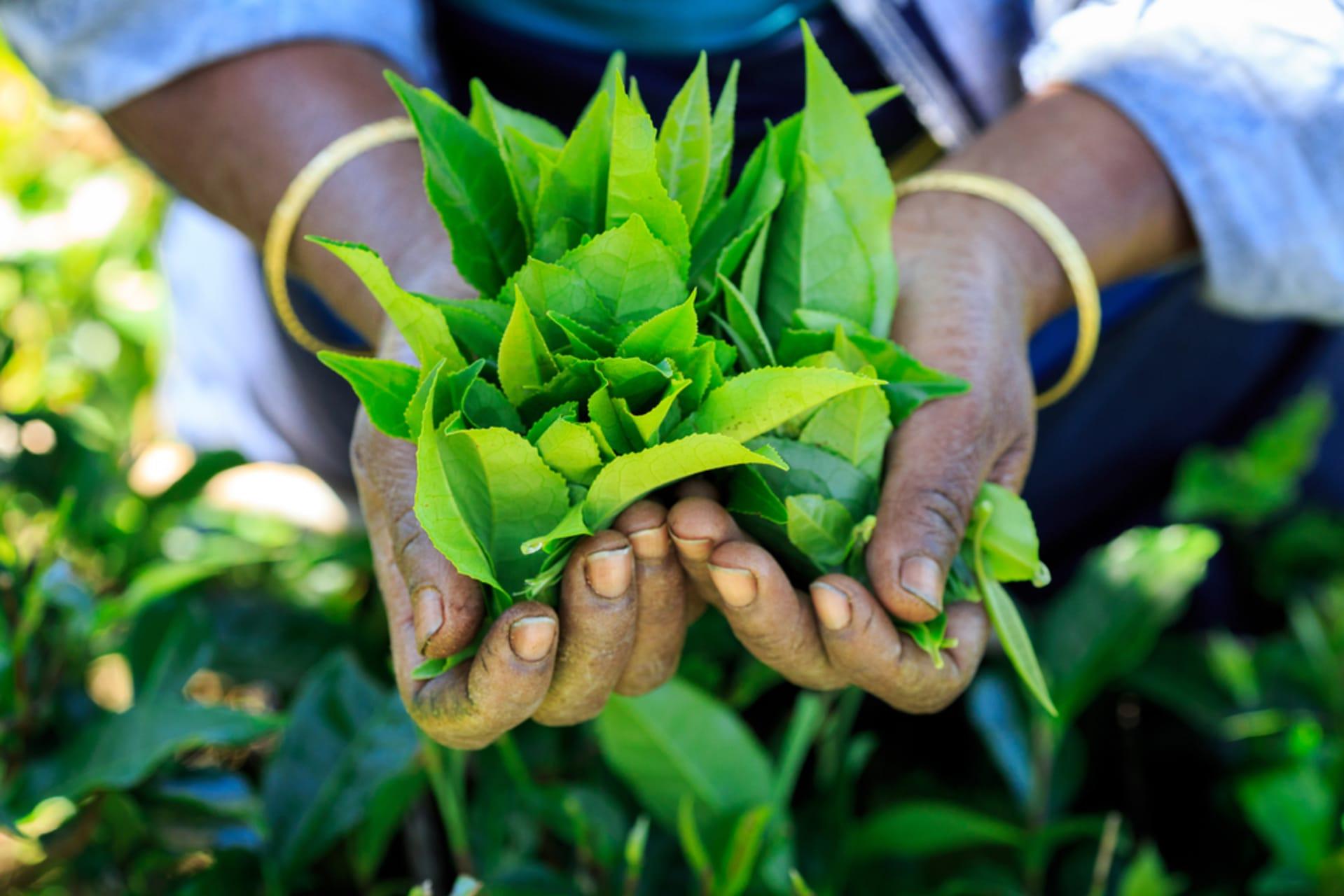 Kandy - Let's Learn Ceylon Tea Manufacturing... (Sri Lanka)