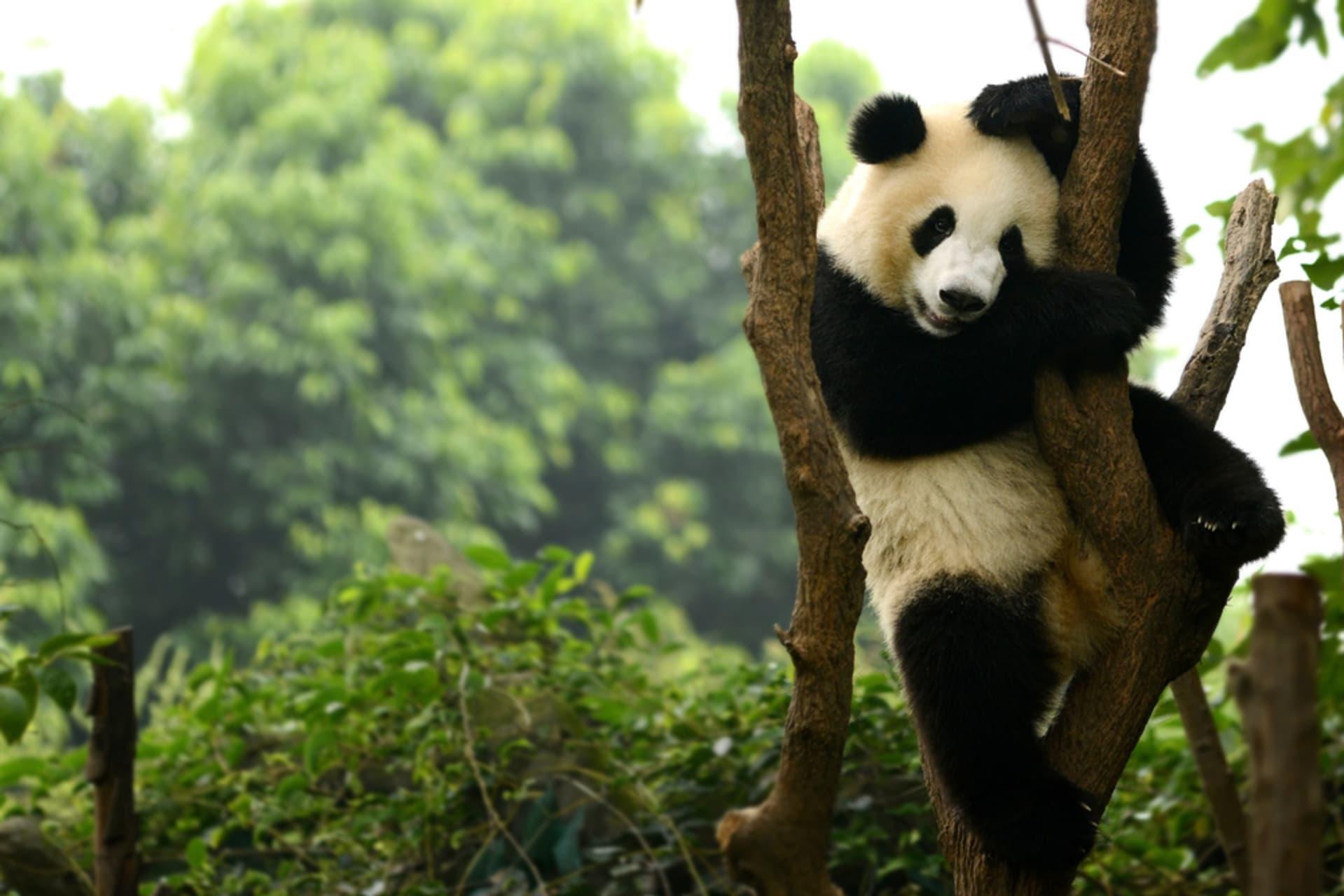 Chengdu - Chengdu Giant Pandas: Explore China's Cutest Attraction
