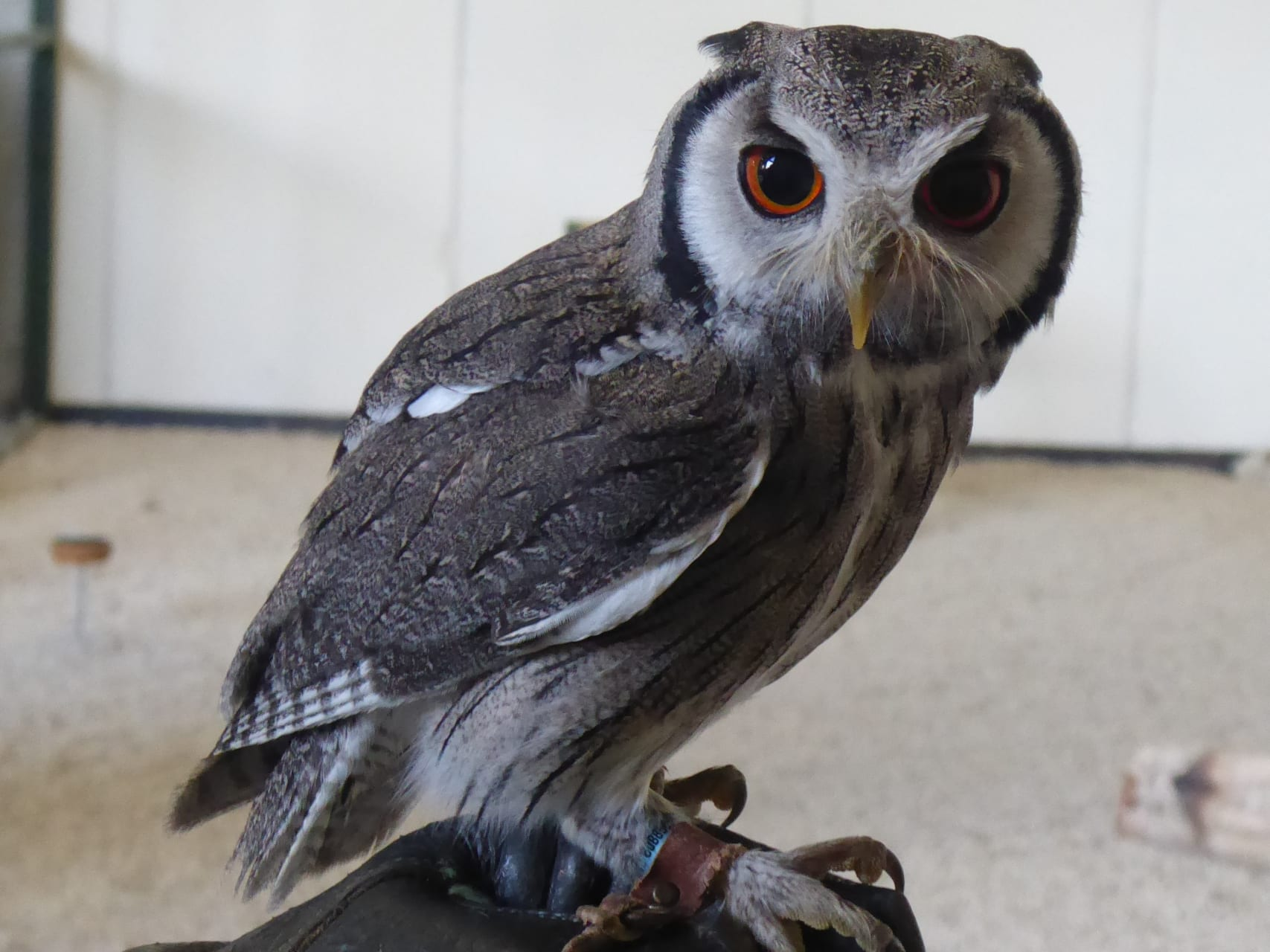 Bath - Bath - Visit a Falconry for a Unique Owl Experience