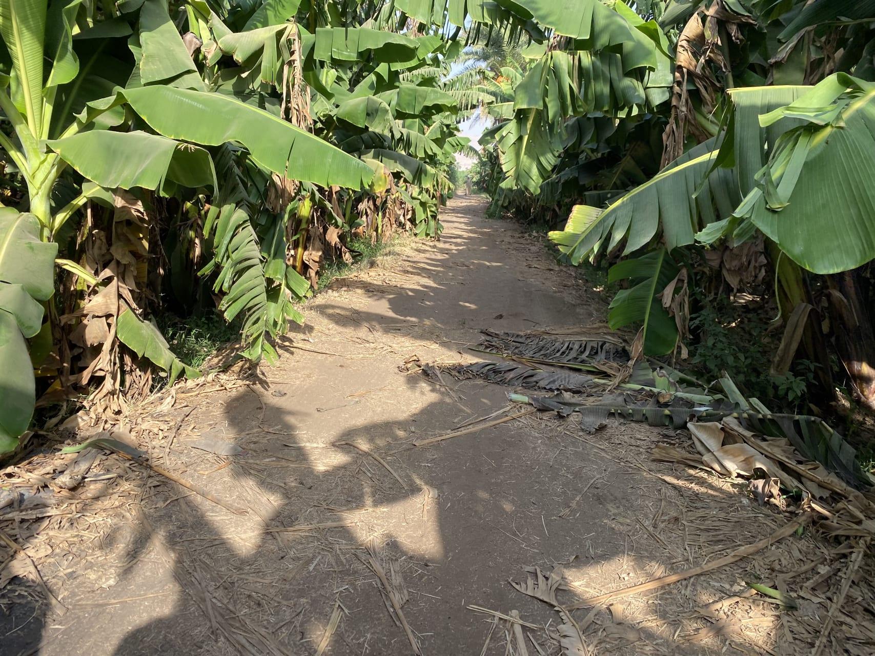 Luxor - A Walk Amongst The Bananas