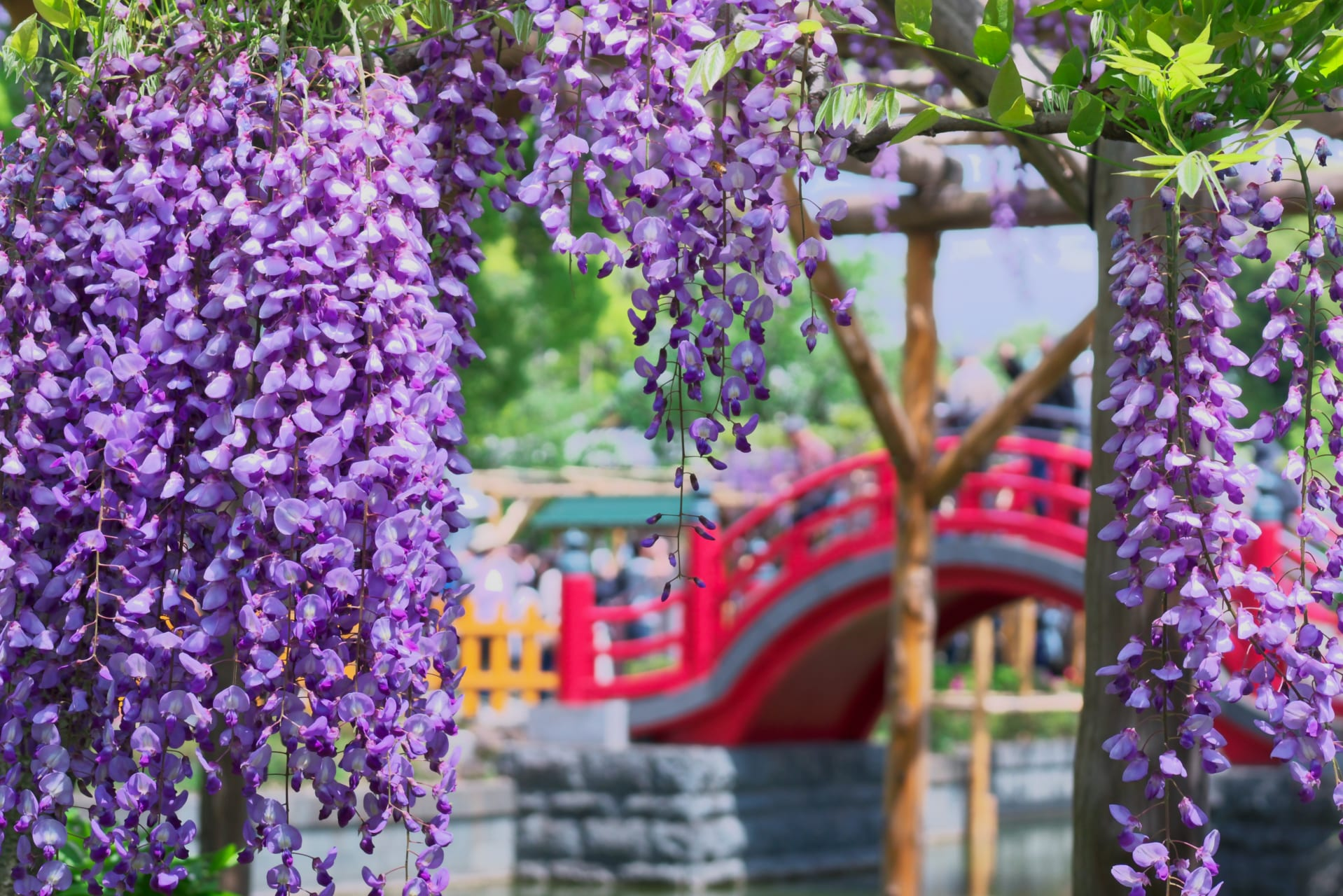 Tokyo - Magnificent Wisteria and the shrine in Tokyo