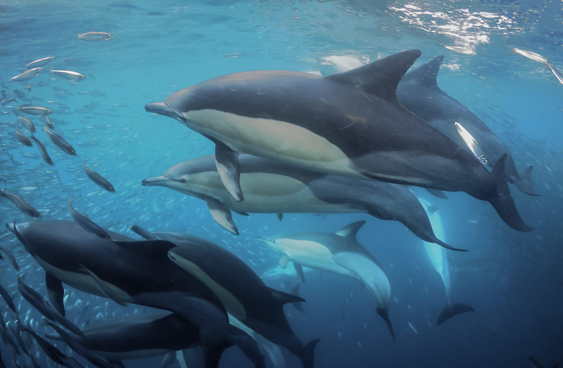 Saint Lucia - Introduction to the Sardine Run: The Greatest Shoal on Earth!