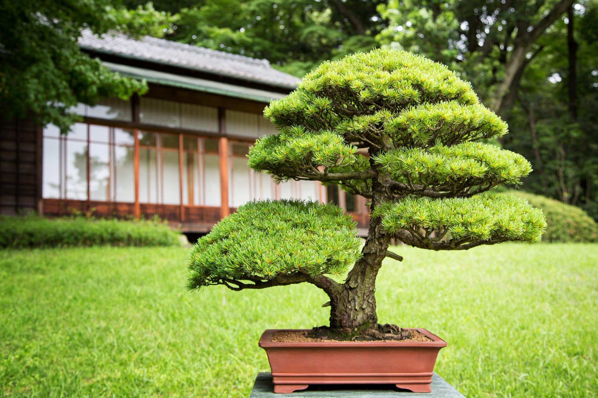 Tokyo - The Living Art of Bonsai Trees