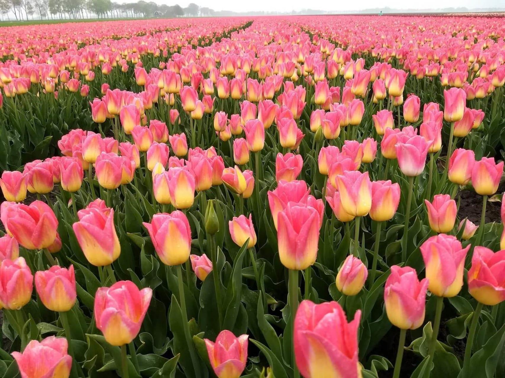Amsterdam - Tulip Fields Forever!