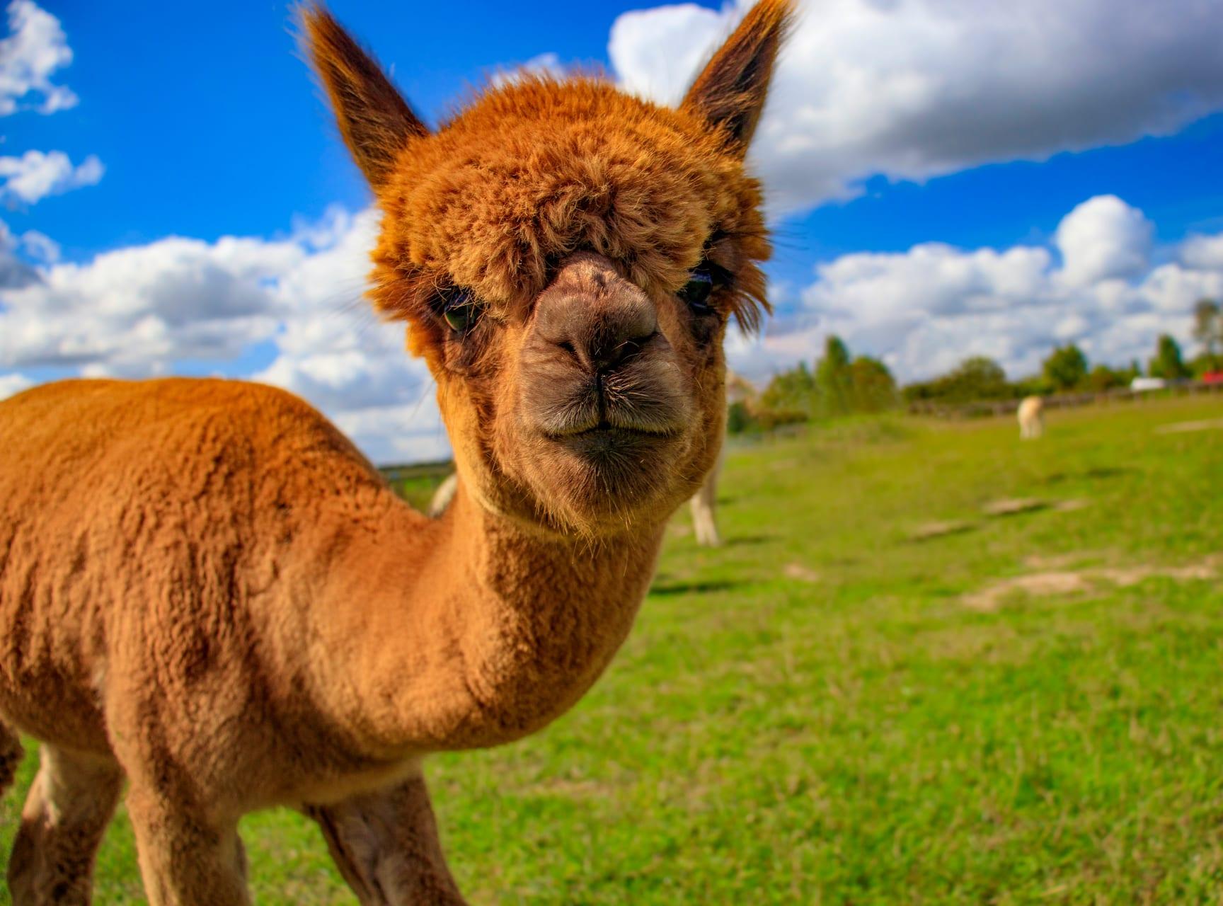 Leiden - Alpacas in the Lowlands: Meet the Mild-Mannered Mammals