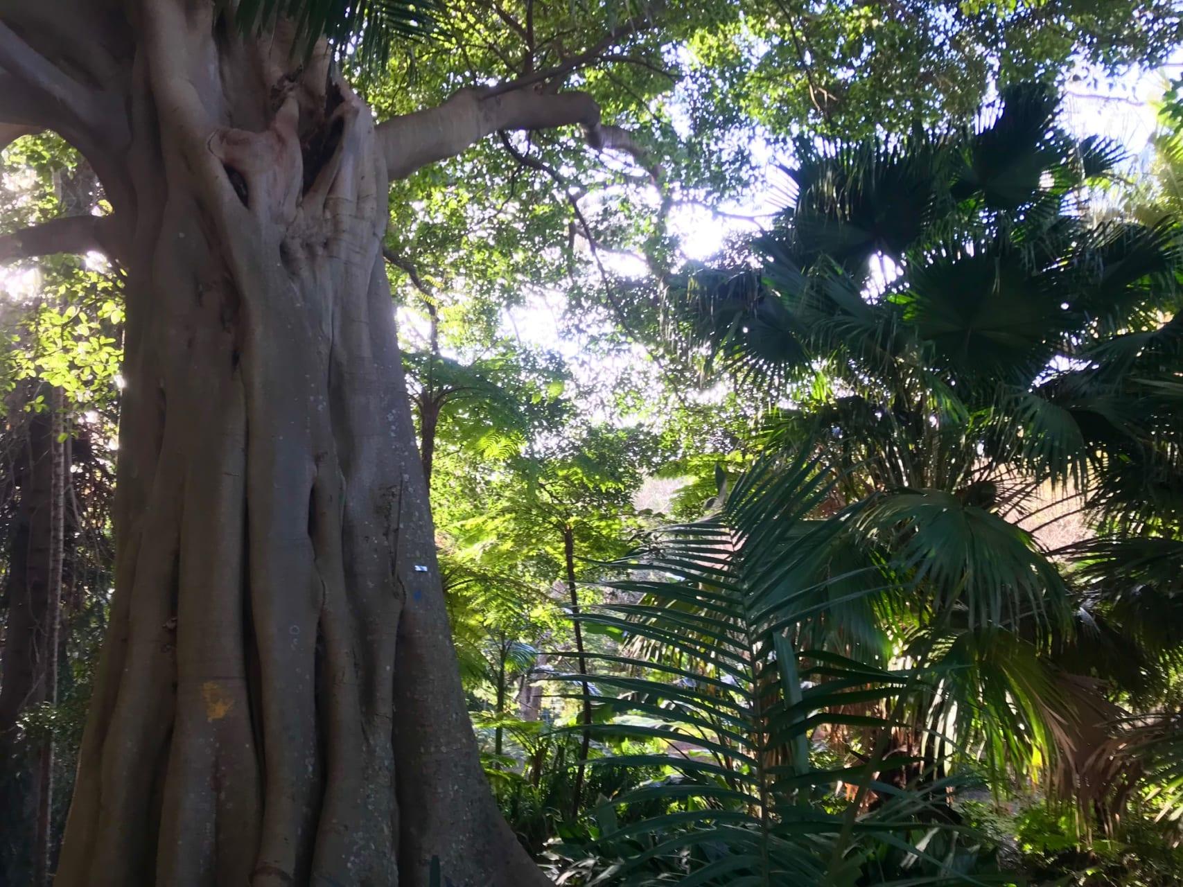 Sydney - Ancient Trees and Turkey Nests - Ivanhoe Park Botanic Garden