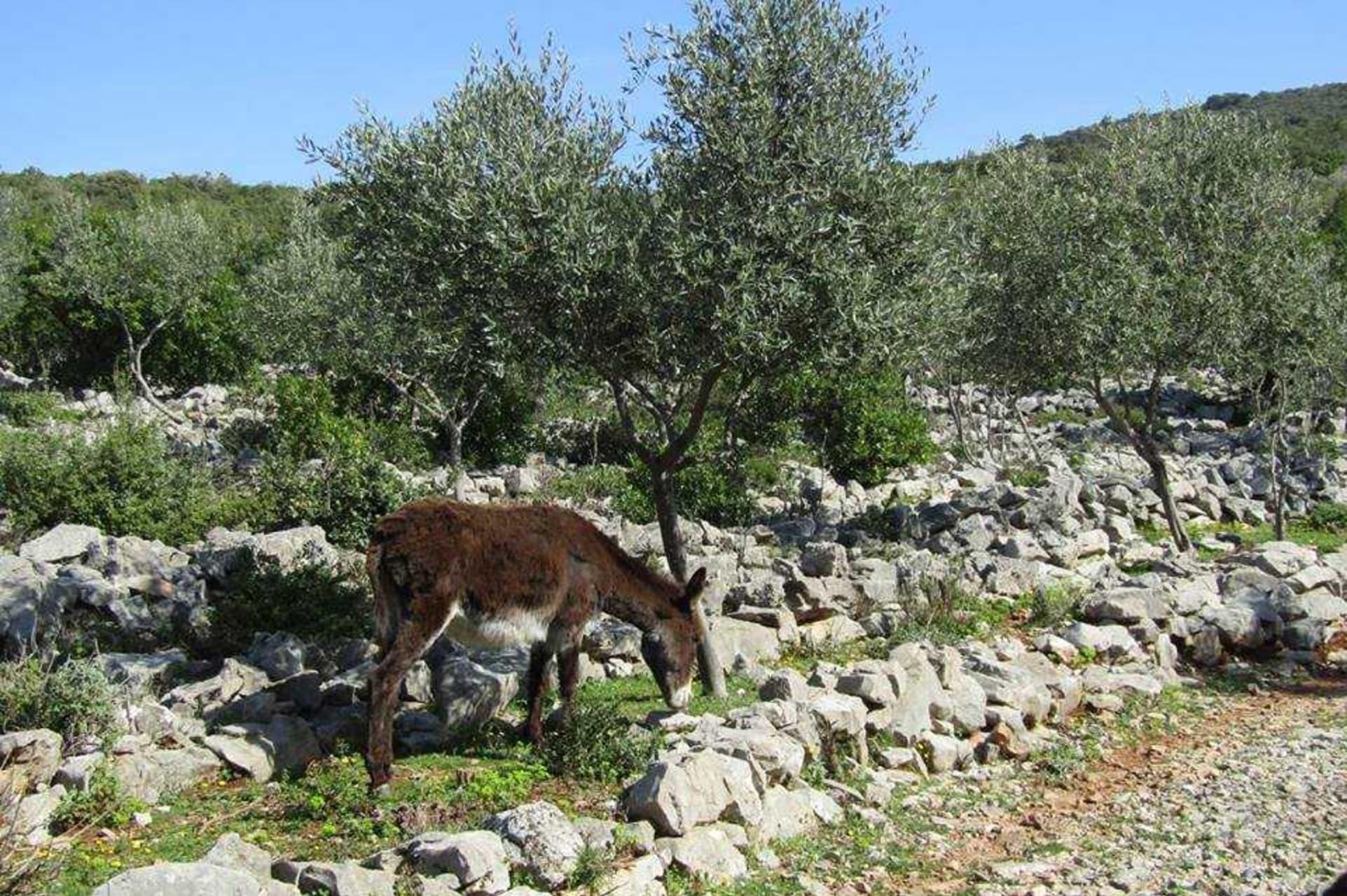 Kotor - Secrets Of Fresh, Organic Olive Oil Revealed At Montenegro's Moric Family Farm