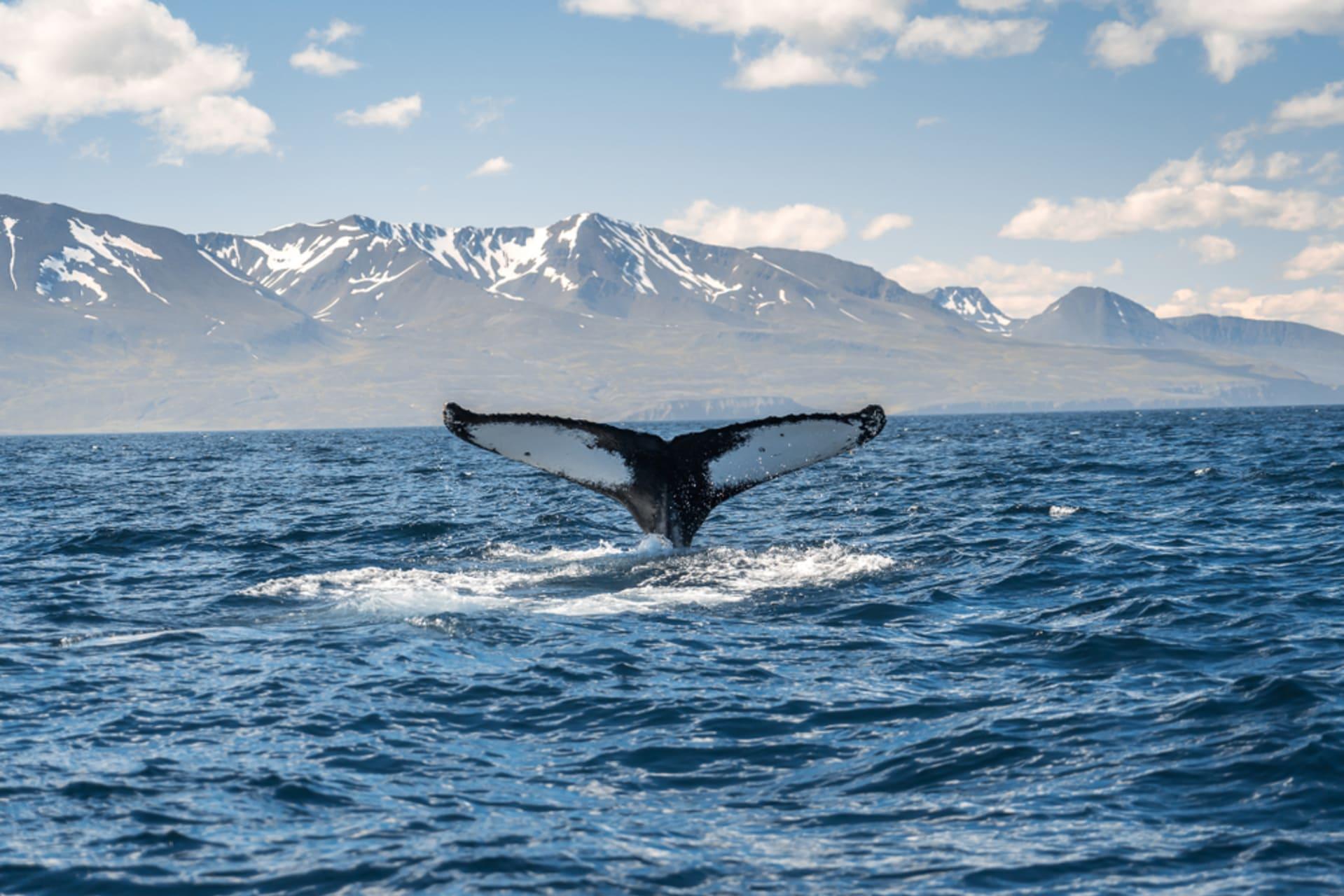 North Iceland - Húsavík Whale watching