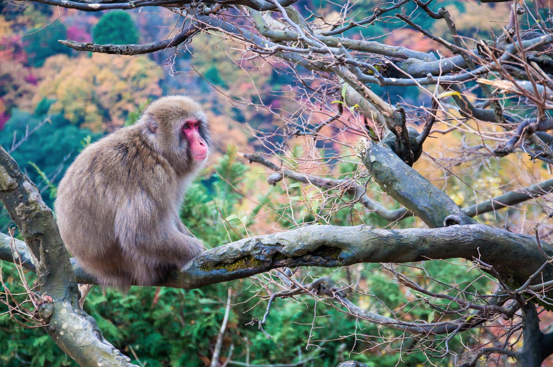 Kyoto - Let`s see and  feed Japanese monkeys at Arashiyama monkey park