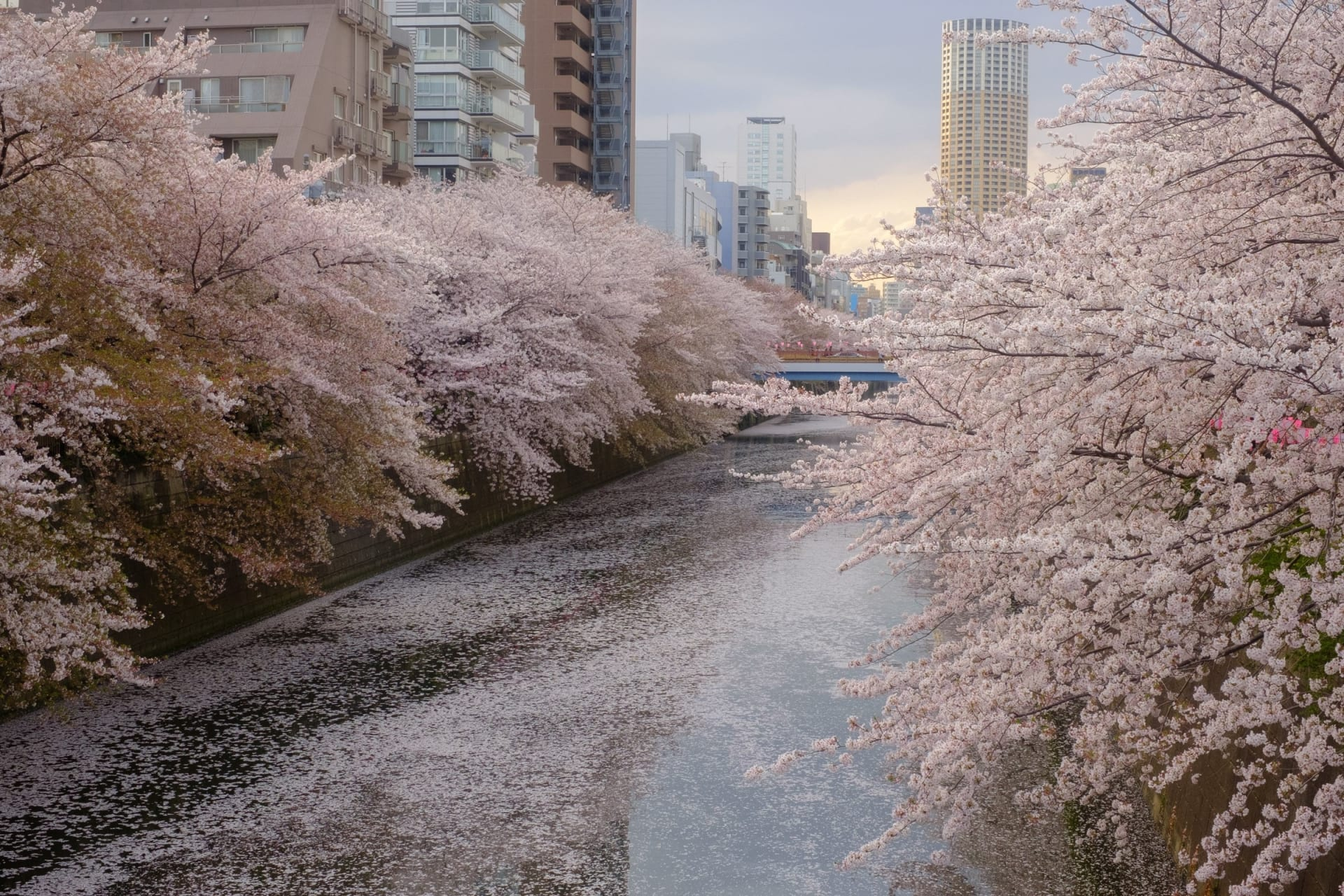 Tokyo - Stroll under the Cherry Blossoms along Meguro River