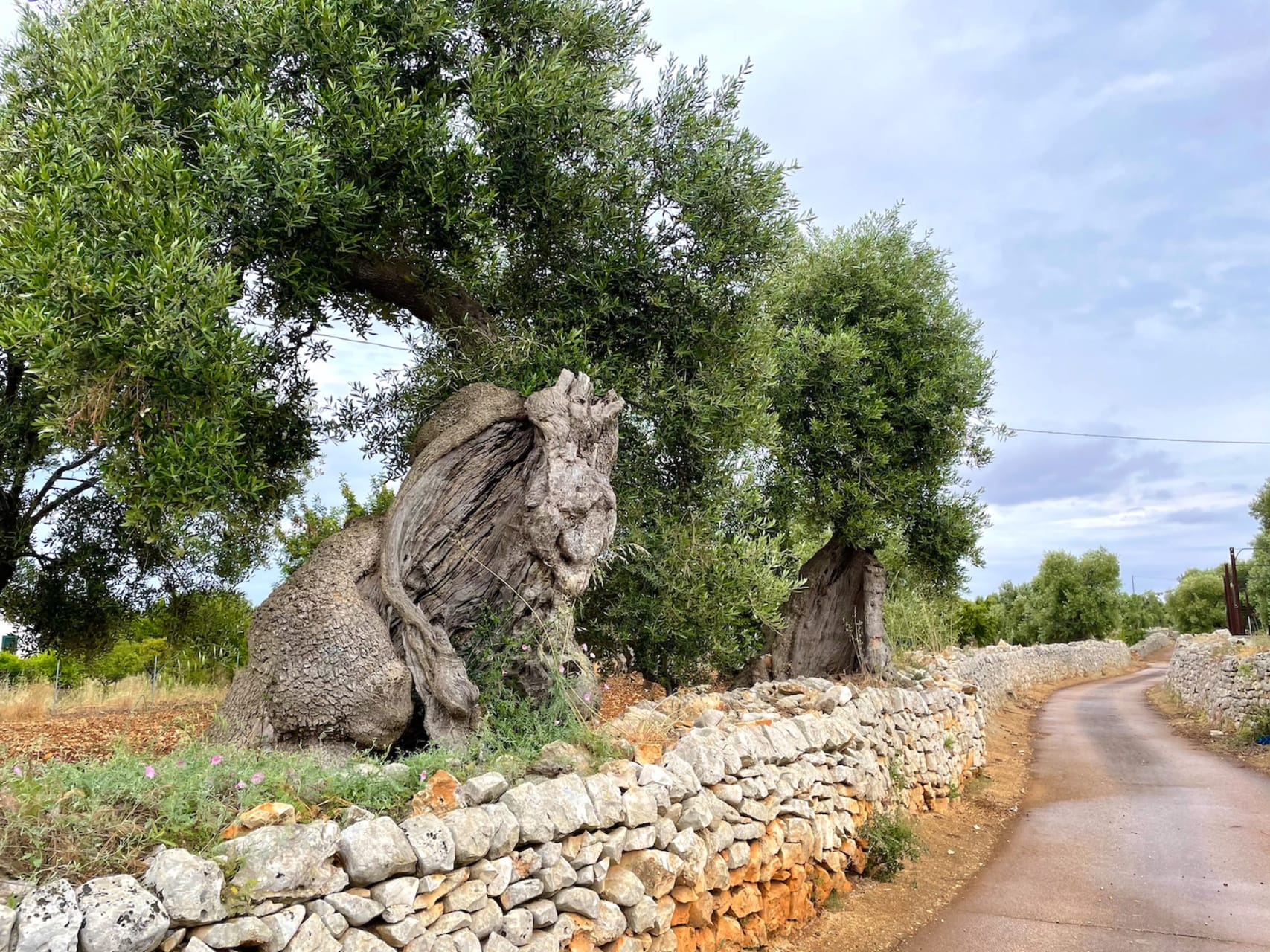 Puglia - The monumental Olive Trees of Puglia: If they could speak they would have thousands of stories to tell