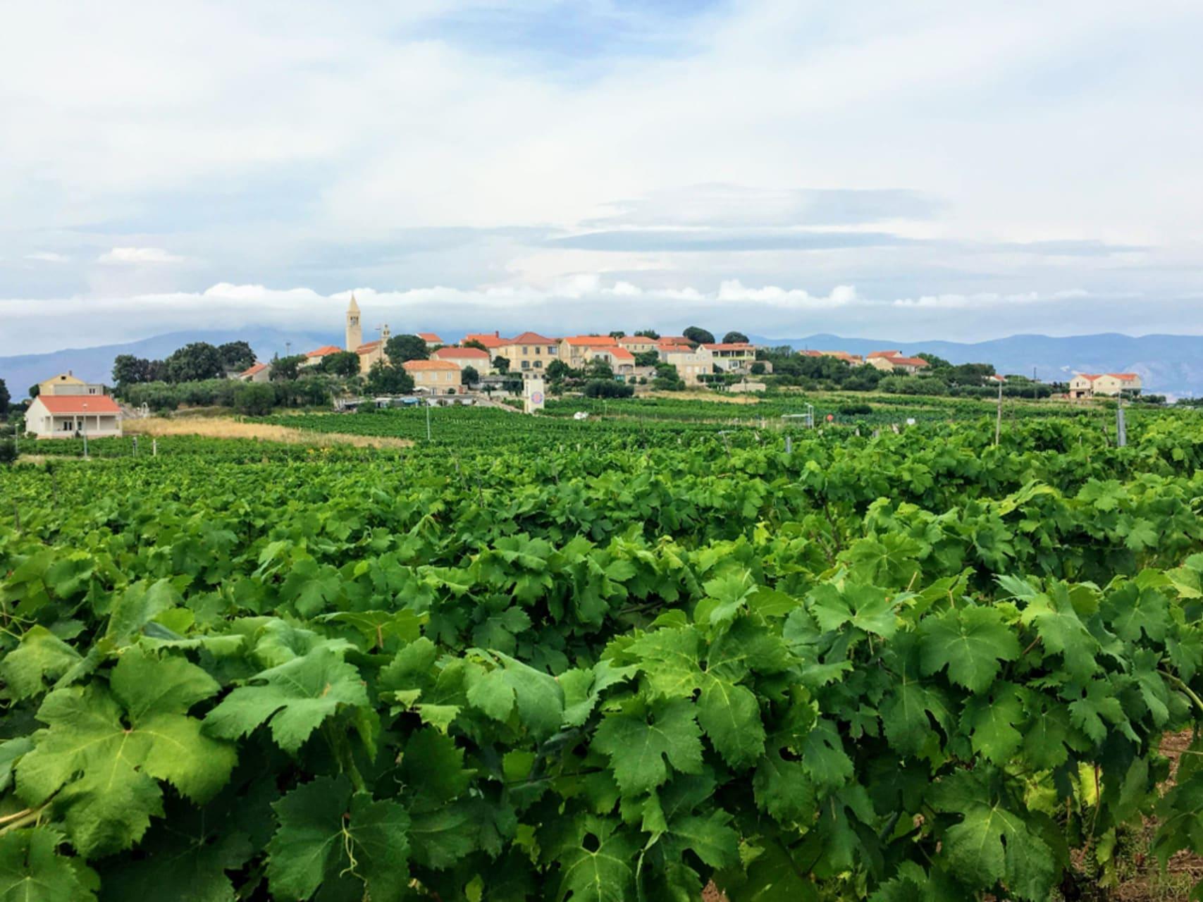 Korcula - Village of Lumbarda  - Stone Wall Terraces and Wine Presentation of Wine Grk