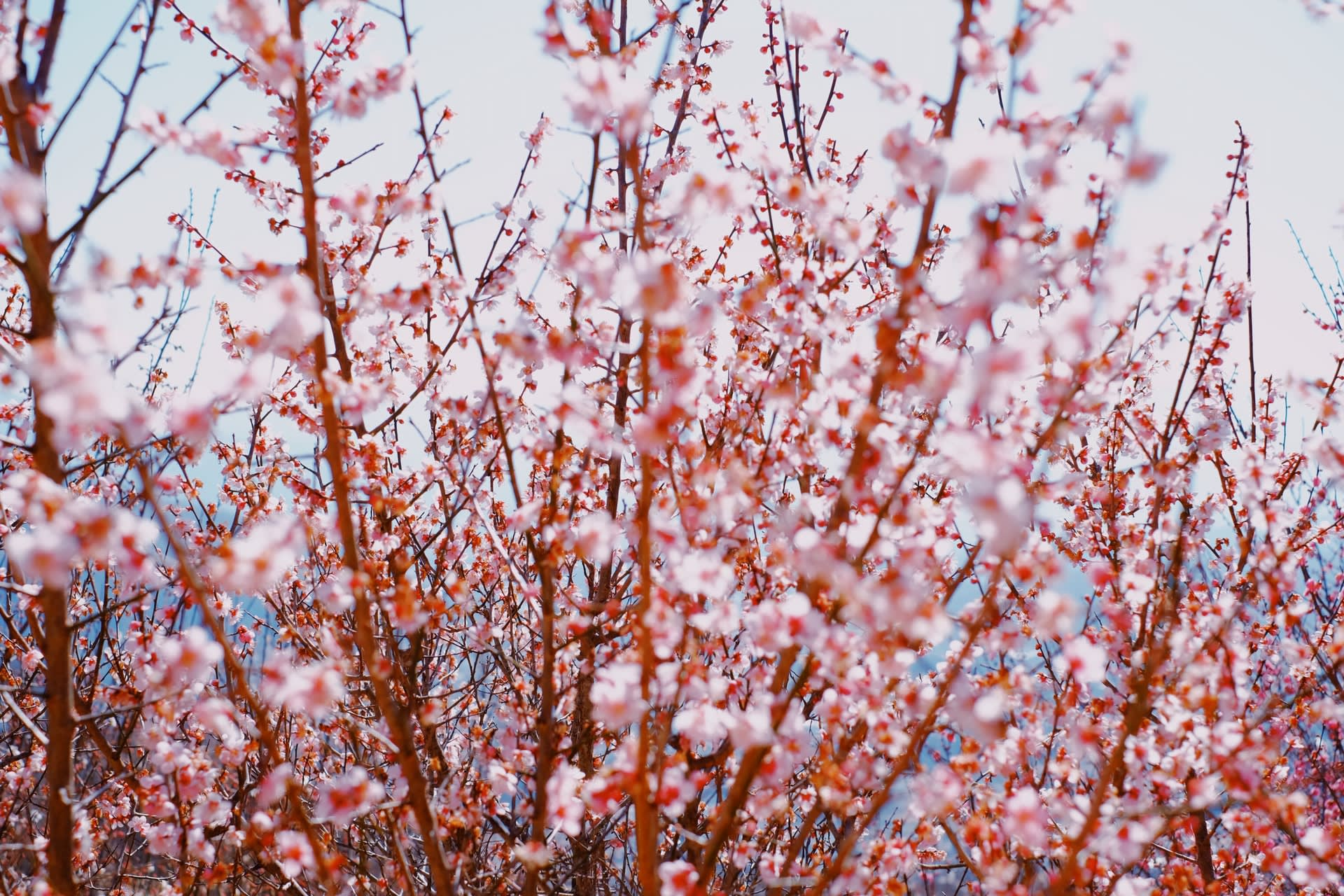 Tokyo - Early Spring Special - Plum Blossom Viewing