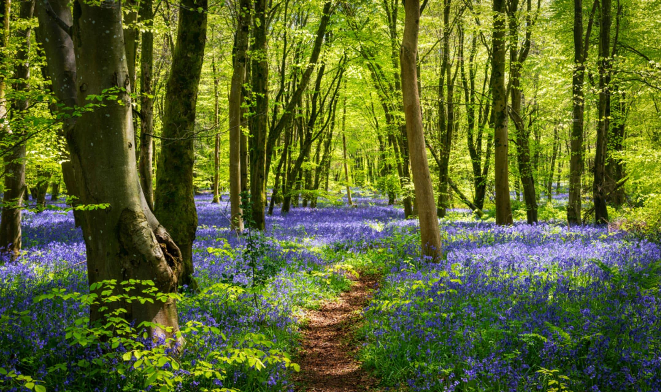 Guernsey - Wander through Bluebell Wood in Guernsey