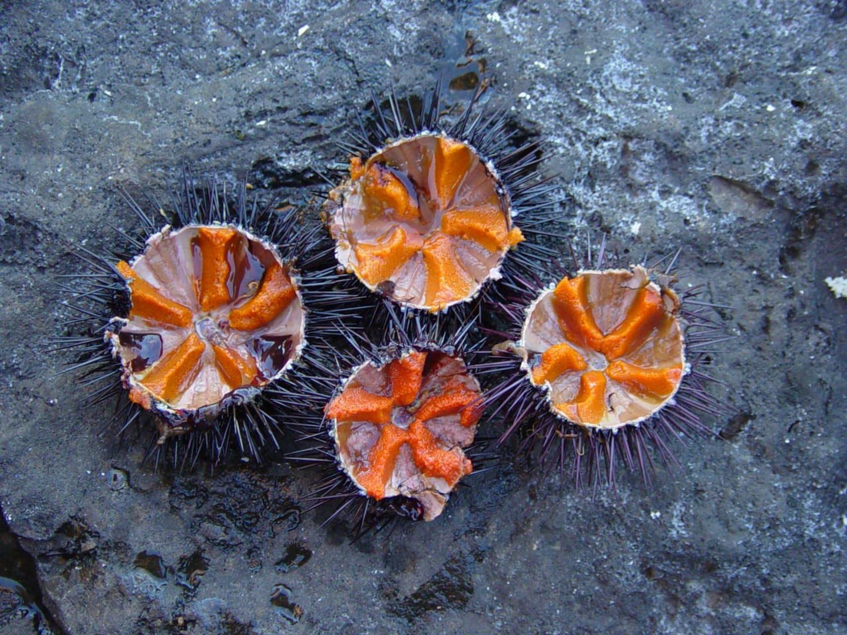 Korcula - Korcula - Sea Urchin - Aphrodisiac from the Adriatic