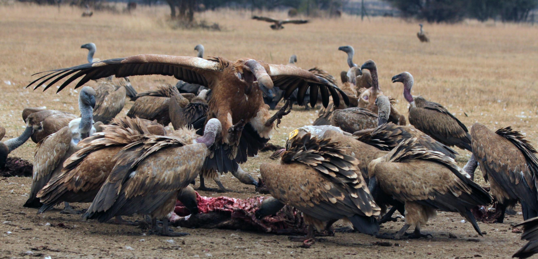 Victoria Falls - Birds of Prey