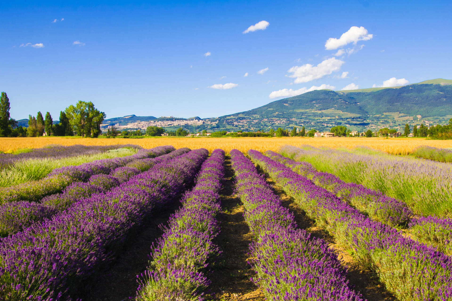 Assisi - Lavender Fields!