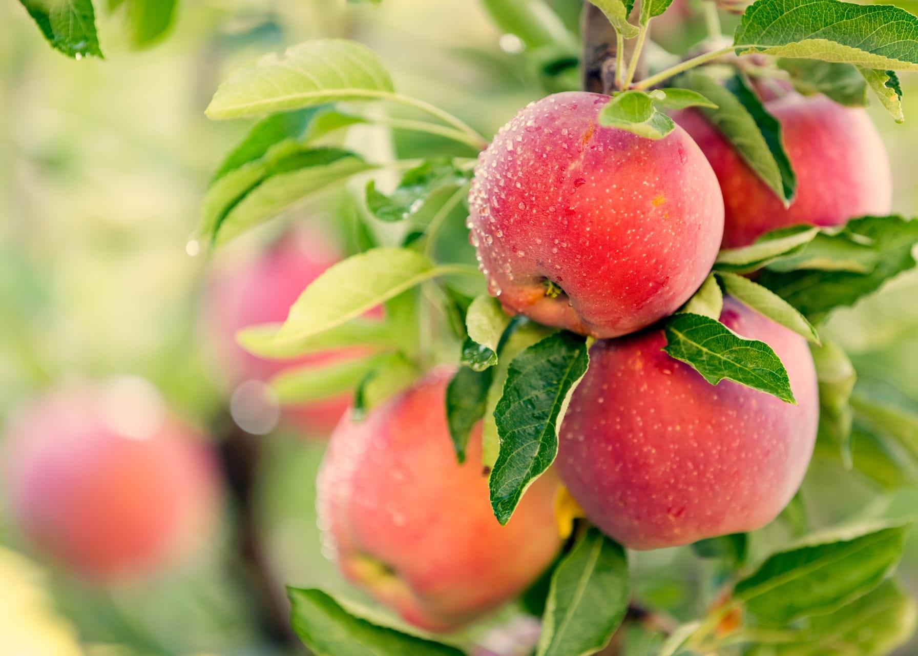 California - Apple Celebration at Gamble Garden - Fun for the Whole Family