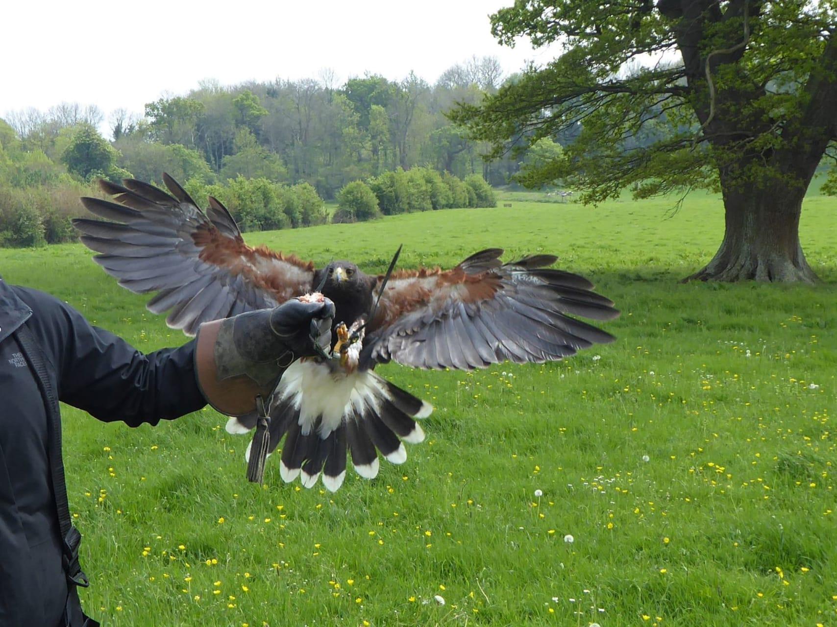 Bath - Bath - Hawk Flying in the Countryside