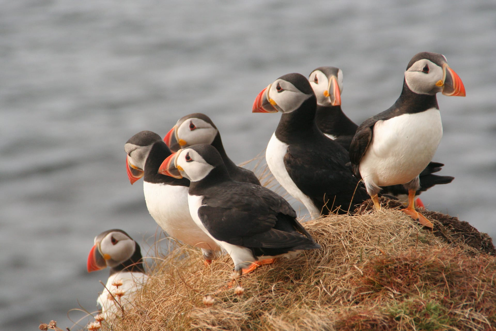 Orkney - Puffin Watching