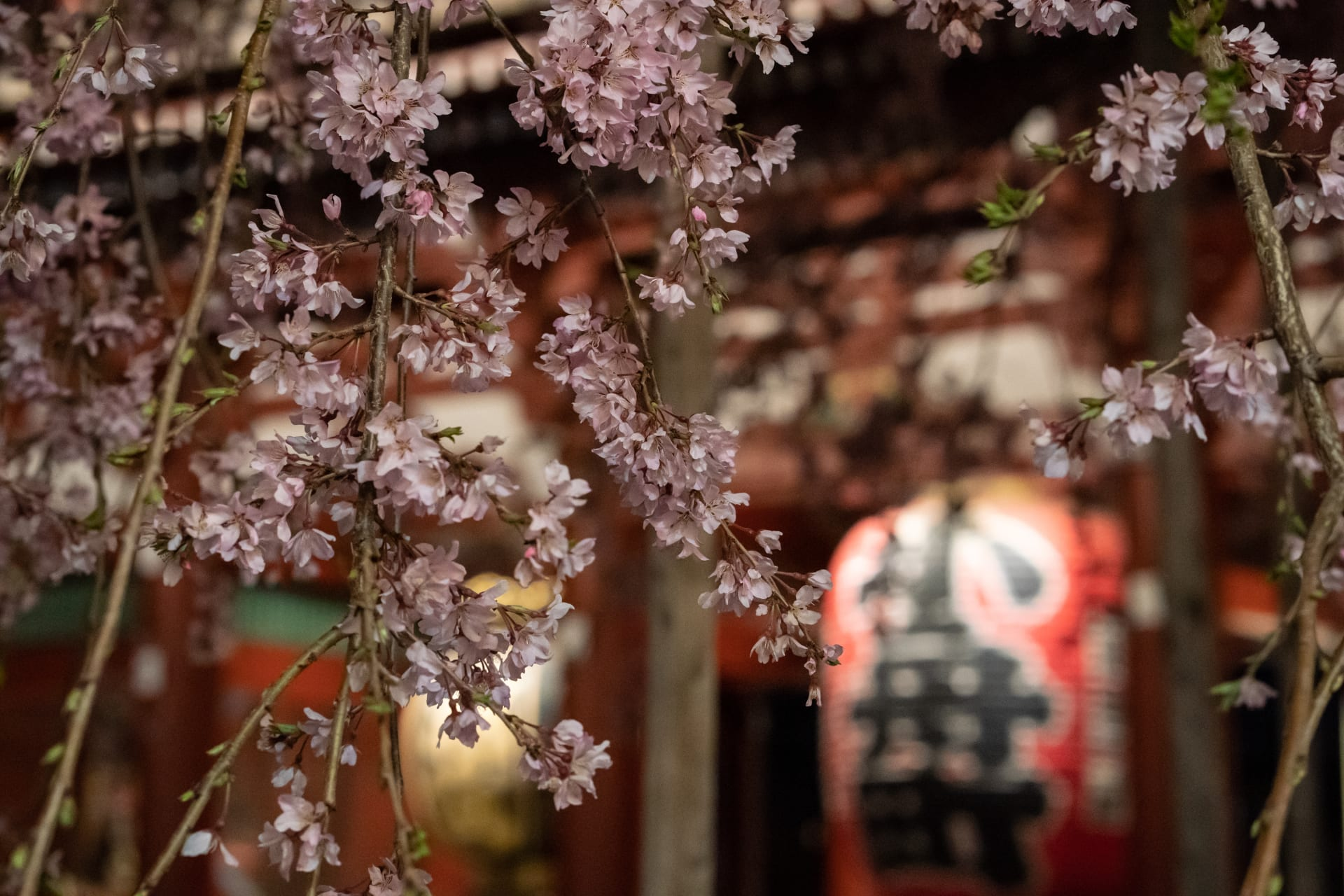 Tokyo - Experience Cherry Blossom Flurries and the Oldest Temple in Tokyo