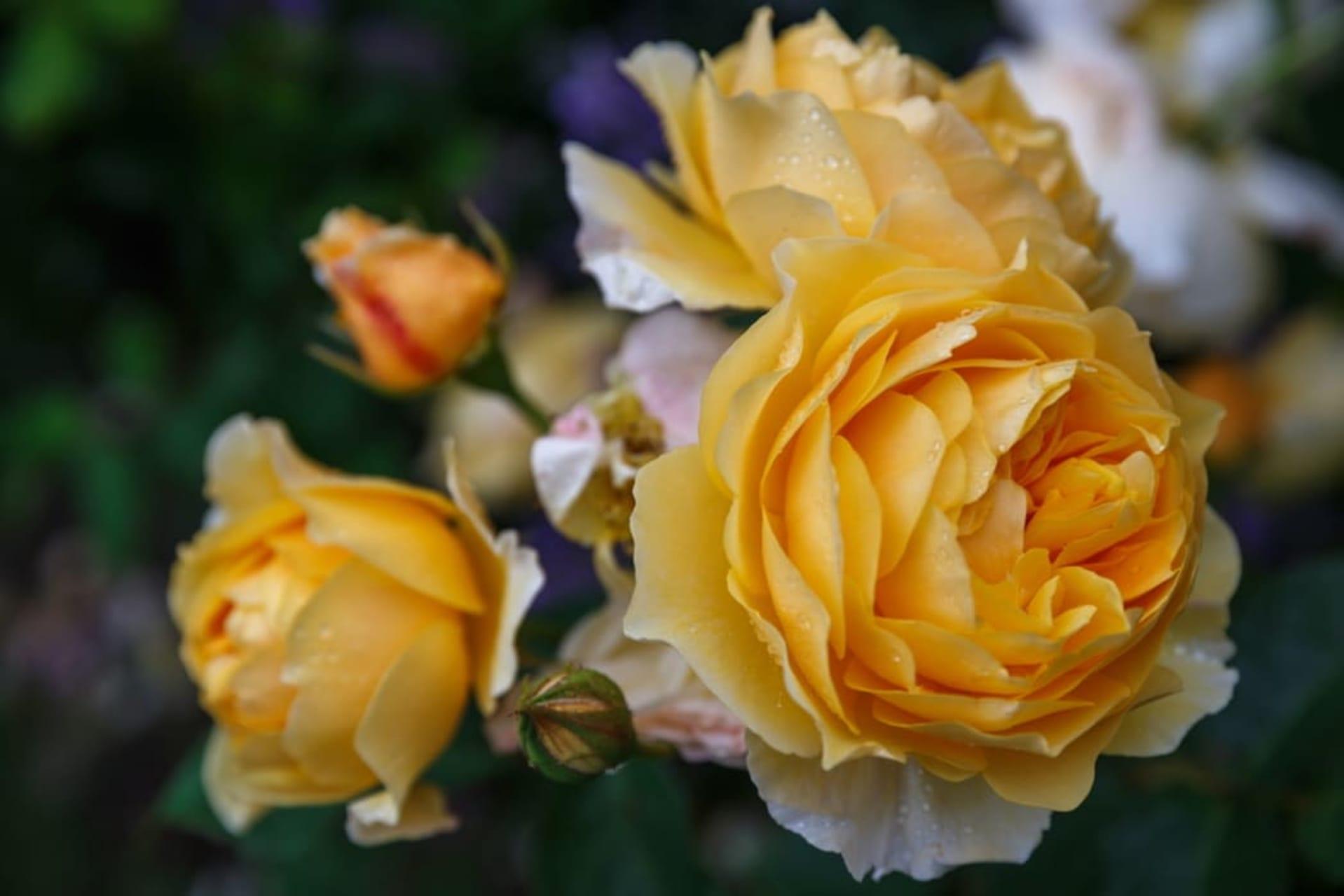 Assisi - Quand Fleuriront les Roses - La Roseraie David Austin à Assise (TOUR IN FRENCH)