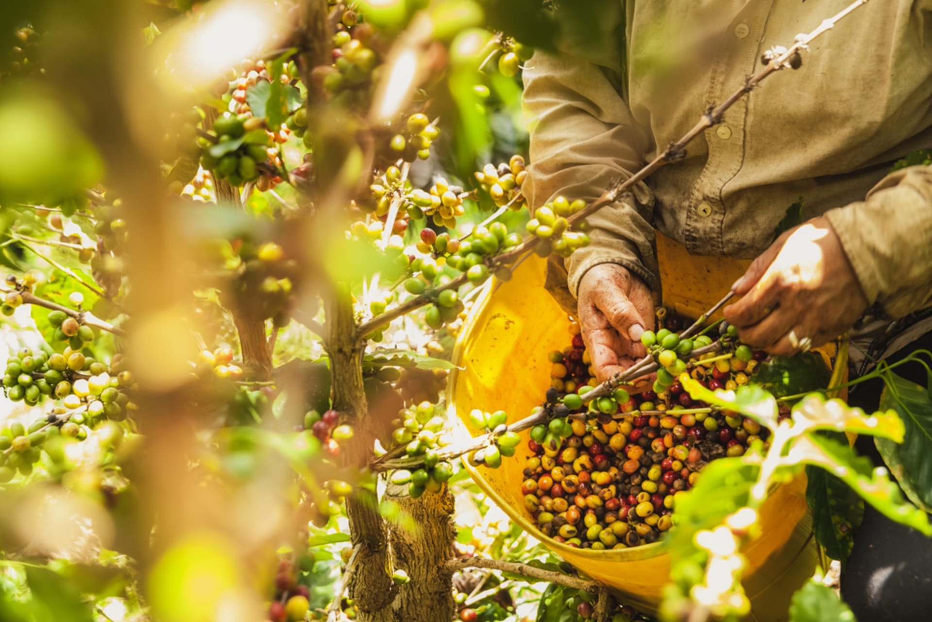 Medellín - Colombian Coffee - From seed to cup