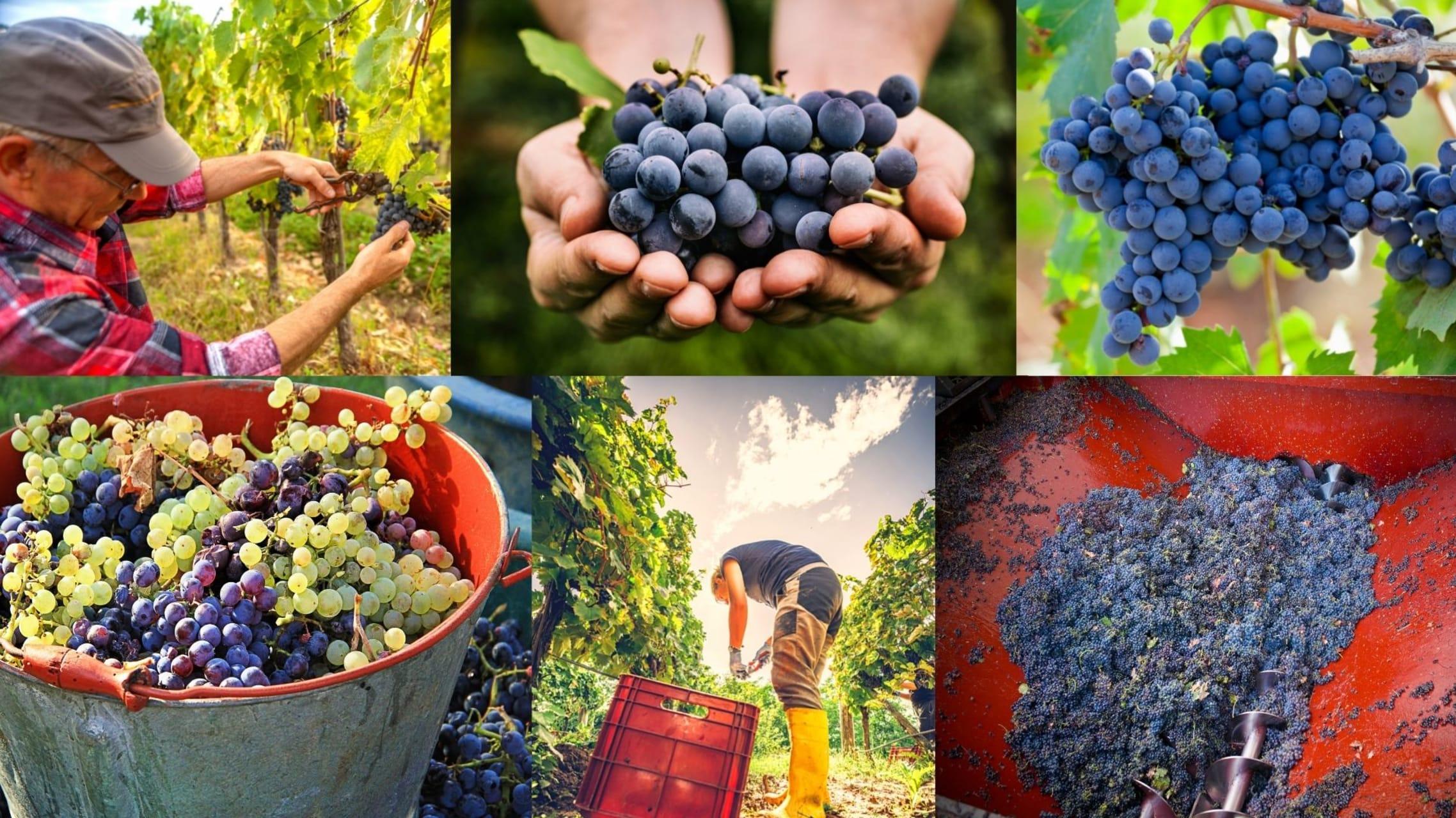 Puglia - The Grape Harvest in Puglia