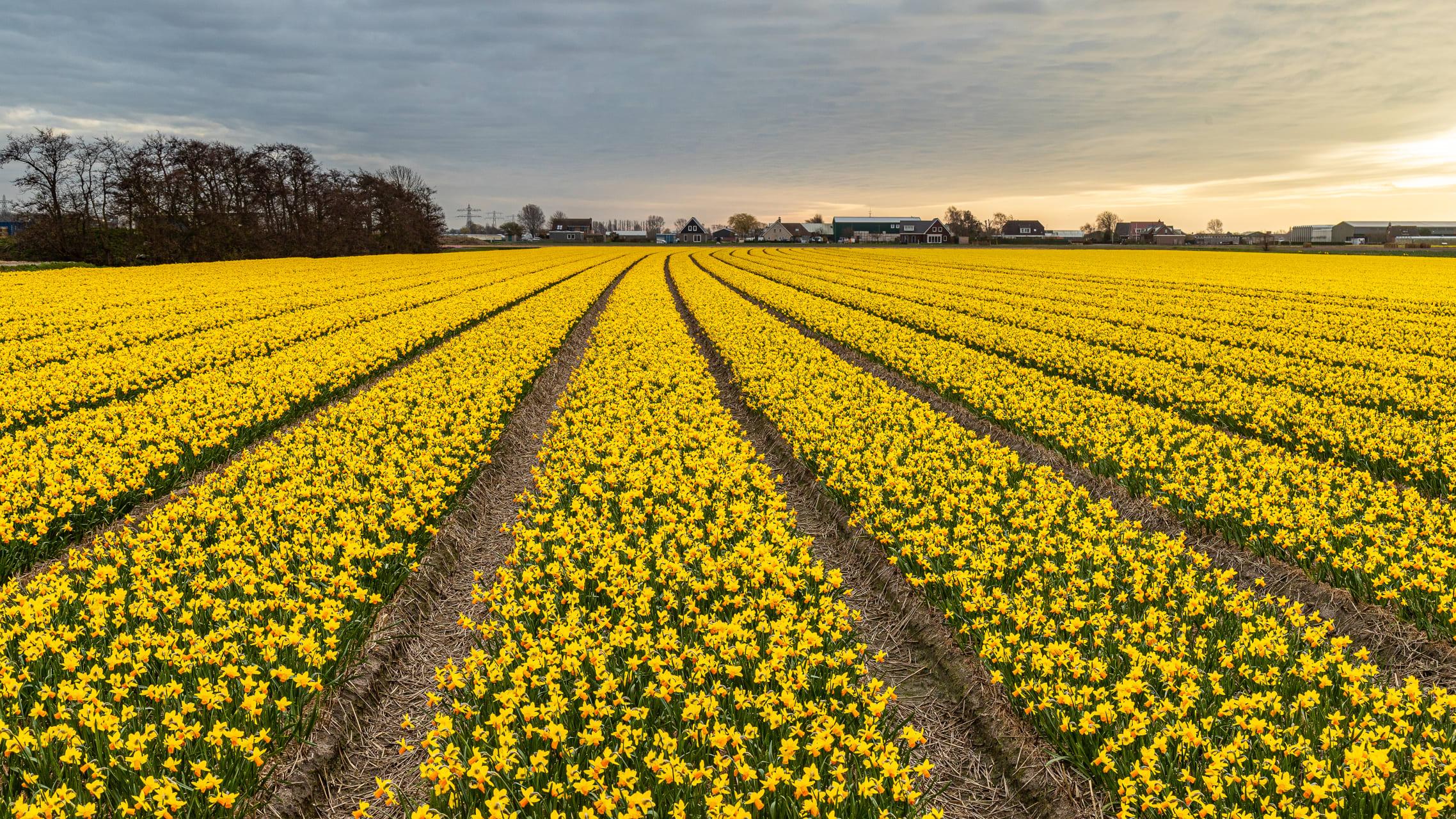 Amsterdam - Daffodil and Hyacinth Fields Extravaganza