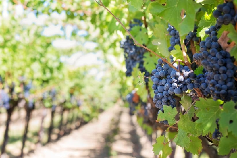Healthy grapes in vinyard as a symbol for what is organic wine