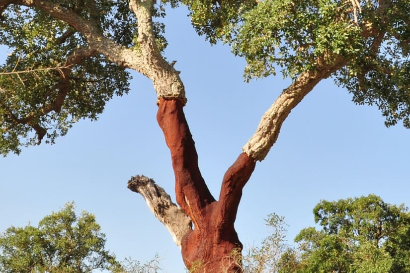 Cork oak tree stripped of its outer cork layer