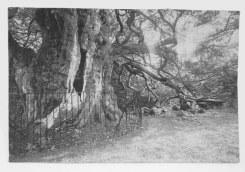 Frans Beerens, Een 4000 jaar oude Taxus op het kerkhof in Crowhurst (Engeland)