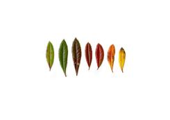 Anne Geene, Colour Analysis Berberis Julianae (individual plant)