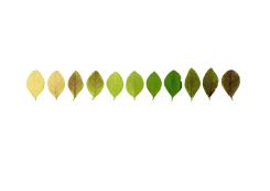 Anne Geene, Colour Analysis ligustrum (individual plant)