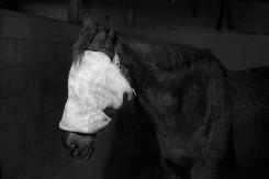 Tom Callemin, Horse