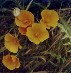 Robby Müller, California poppies, La Palma