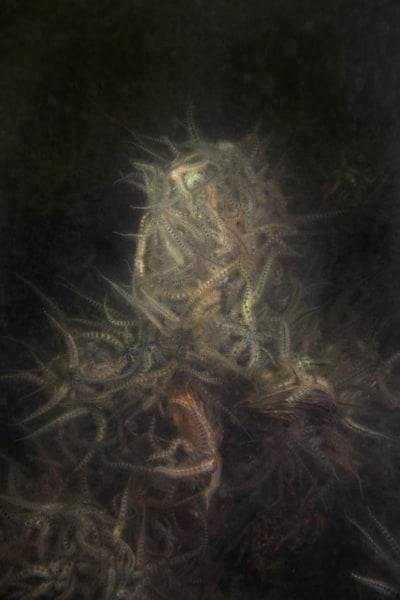 Elspeth Diederix, Brittle Star Mountain