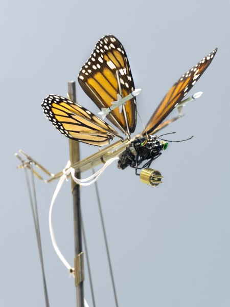 Leon van Opstal, The insects fight back: Monarch Butterfly