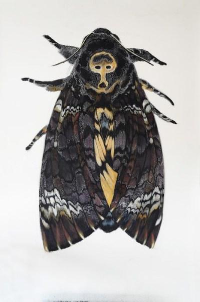 Roos Holleman, Deaths Head Hawk Moth