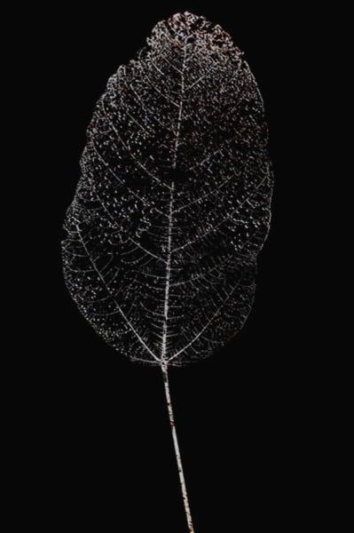 Paul Cupido, Moon Leaf